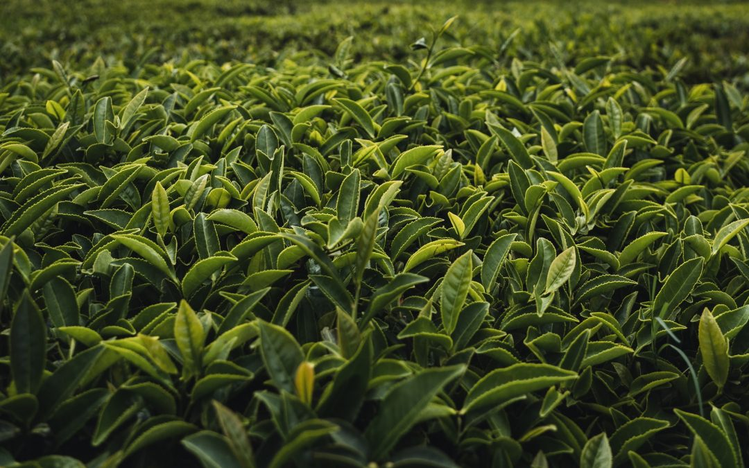 Tea Leaves in field